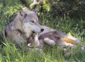 Wolf Mother by LordWolfgang