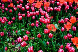 Tulips by MaxCrandale