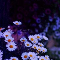 Purple Dream .. by ST-ST