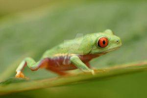 Red eyed tree frog V12 by AngiWallace