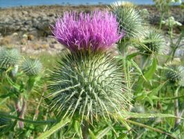 Flower Of Scotland - JFlorence by scottish