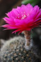 Cactus flower 1176 by fa-stock