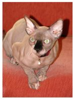 Sphynx kitty by maska13