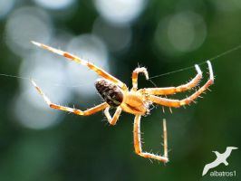 Man of Araneus Diadematus by albatros1