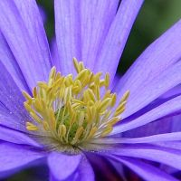 Purple daisy by CecilyAndreuArtwork