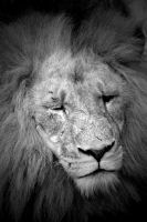 Black and White Lion by DanielleMiner