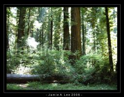 Redwoods by Jammerlee