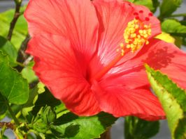 red Hibiscus 3 by crazygardener