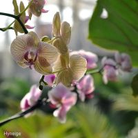 Orchidee en transparence by hyneige