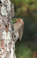 Northern Flicker 12-1-10 by Tailgun2009