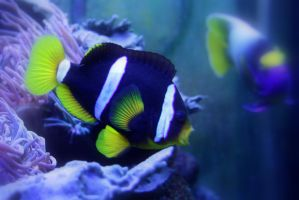 Clark's anemonefish by AreBummersDeaf