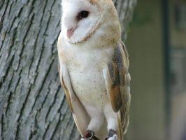 Barn owl 2 by CRStock