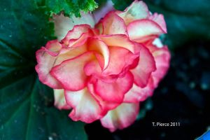 Pink Begonia by thriftyredhead