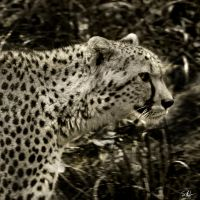 Cheetah - Square BW Tinted by AzureWindProductions