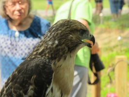 Eragon the Red-Tailed Hawk 1 by Windthin