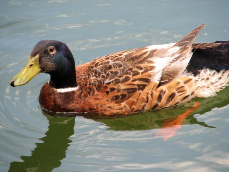 What's Up Duck by whatategilbertgrape