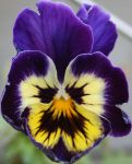 Clown Face Pansy by lamsquaw