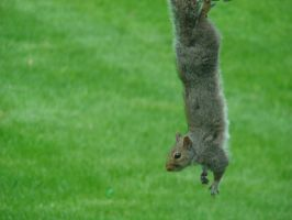 Hanging Squirrel by BrutalityBob