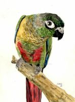 Green-Cheeked Conure by RamonaQ