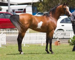 STOCK - TotR Arabians 2013-158 by fillyrox