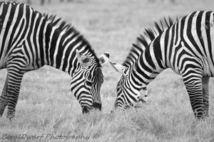 Zebra Couple by CoralDwarf