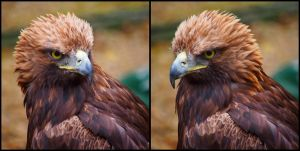 Golden Eagle by AngelsSunset