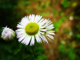 Camomile by Marianna9