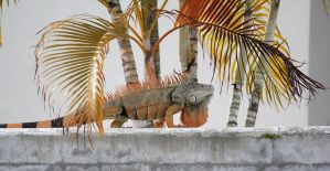 Orange Iguana by firenze-design