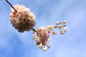Cherry Blossoms 3 by esoup13