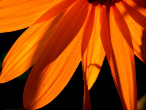 sunflower macro by April-Mo