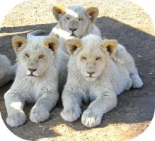 White Lion Cubs Laying II by Jenvanw