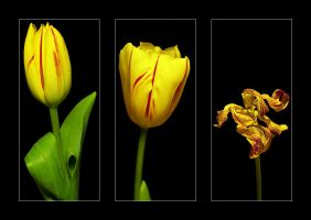 The life of a tulip by selester