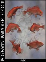 Animals 097 Pacific Rockfish by poserfan-stock