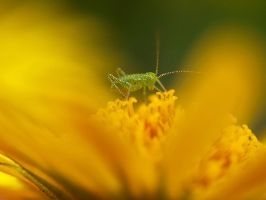 little grasshopper by Bodghia