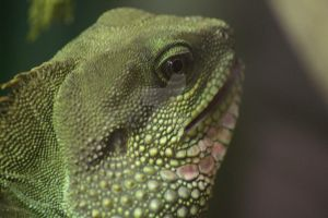 Chinese Water Dragon::CloseUp:: by Tebyx