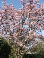 Cherry Blossoms 4 by Joran-Belar