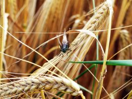 Grasshopper on Wheat by Godlesswanderer