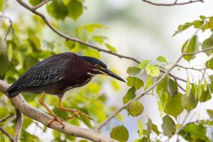 Green heron in a tree by CyclicalCore