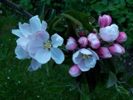 Apple blossom by tapity-feet