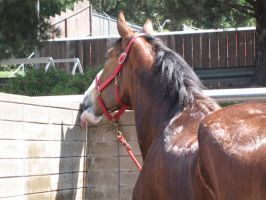 Clydesdale -7 by rachellafranchistock