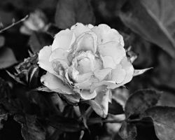 Grey rose by a6-k