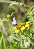 The Common Blue by JetteReitsma