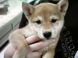 The cutest puppy EVER. by shiba