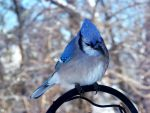 Bluejay by bmxer197
