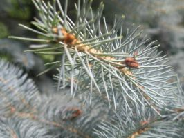 small fir by Voloshina