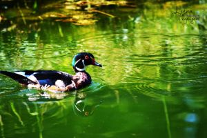 Just out for a swim (Wood Duck) by ShineeDragon