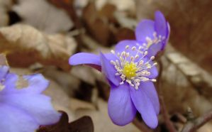 Blue flower in late march by aktron