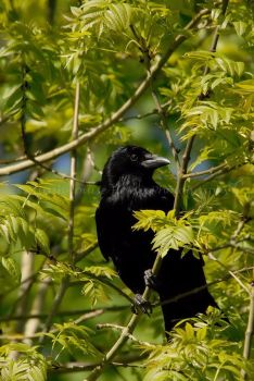 Carrion crow by Sarah-Hann-photo
