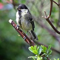 Young Great Tit by BlonderMoment