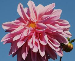 perfect dahlia and bud by ingeline-art